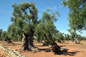 vele dikke olijfbomen met rode grond