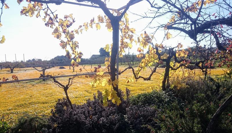 goudgele kleuren kijkend door een boom en wijnstokken