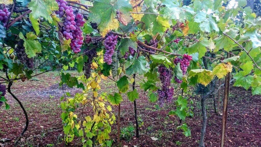 rijpe rode druiven aan wijnstokken bij de wijnproeverij