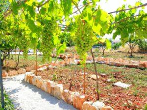 witte druiven onder een pergola