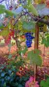 Blauwe druiven in giardino Villa Verde
